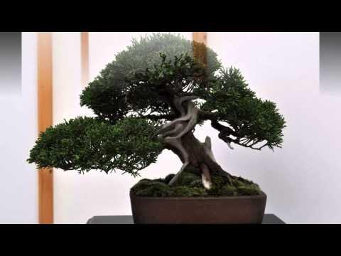 British Shohin Association Exhibition 2014 Part 4 More Trees