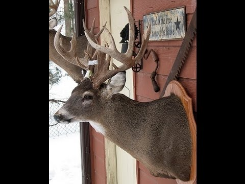 Whitetail Deer Shoulder Mount Taxidermy VIDEO 15 of 16
