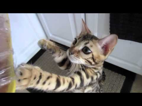 Bengalen - This is Mia the bengal kitten @ 5 months old, Mia LOVES food. Here is Mia 1 yr later, still vocal as ever - https://www.youtube.com/watch?v=pJmXTi88jZw http:...