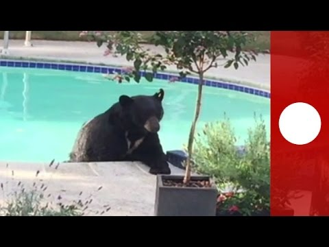 canada, orso bruno s'immerge in piscina privata