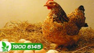 Chăn nuôi gà | 40 con gà đẻ có 4 quả/ ngày: Nguyên nhân vì sao ?