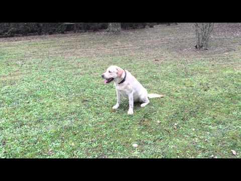 Accoppiamento accoppiamento maschio labrador in emilia/ mantova/ verona