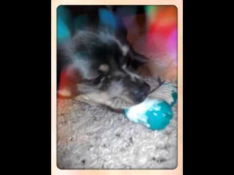 Chuy Chihuahua  Loves Kong!