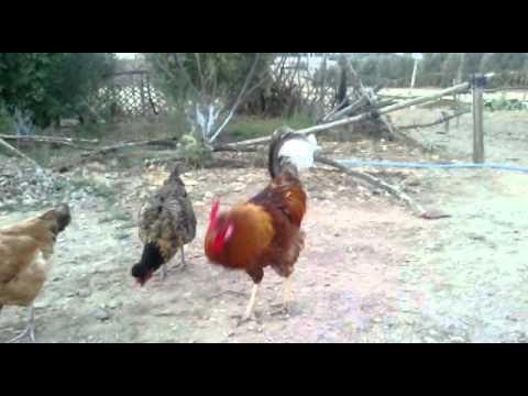 ديك مع دجاجاته يصيح باعلى صوته
