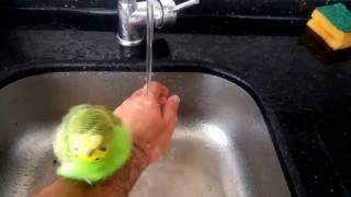 Muhabbet kuşunun nasıl yıkanacağını/banyo yaptırılacağını bu videomuzdan öğrenebilirsiniz. Daha fazla video için sayfamıza abone olabilirsiniz.
