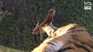 Tiger Cubs vs GoPro full download video download mp3 download music download