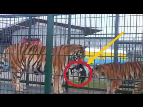 Dog Enters The Tiger's Cage ■ You Won't Believe What Happened.