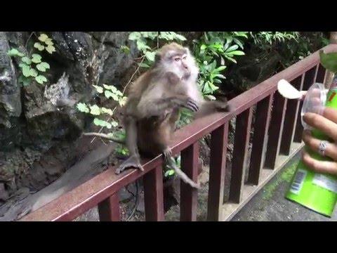 Scimmietta golosa ruba tubo di Pringles e fugge