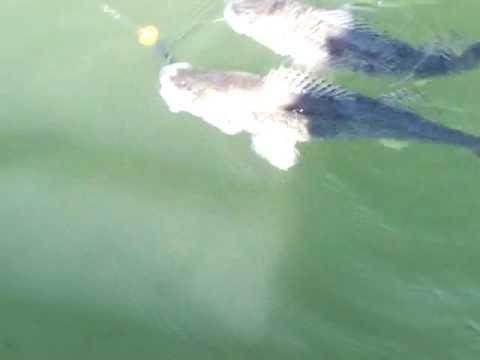 Ce pêcheur attrape deux dorés sur la même ligne!