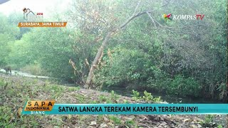 Download Video Terekam Kamera: Satwa Langka yang Diduga Kucing Bakau MP3 3GP MP4