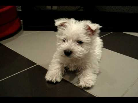 White Terrier video description