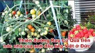 Thiên đường Rau Củ Quả trên nóc nhà của anh đầu bếp Việt ở ĐứcRau Củ Quả, vườn rau củ quả, vườn trên sân thượng, trồng rau củ quảTheo vnexpress.net