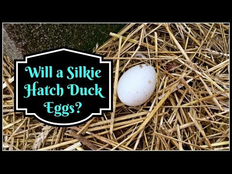 Video Will a Silkie Hatch Duck Eggs?? download in MP3, 3GP, MP4, WEBM, AVI, FLV January 2017