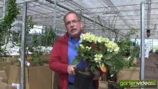 #1152 Rhododendron wardii Graf Lennart