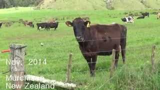 Murchison New Zealand  City new picture : Curious cows in Murchison New Zealand