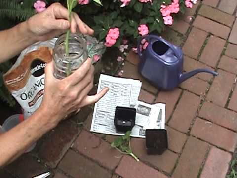 Annual Plants - Instruction on how to propogate annual plants for next season. Geranium, sweet potato vine and coleus can be saved indoors over winter. Take the cuttings bef...