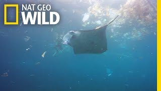 Manta Ray Swims in Trash-Filled Ocean | Nat Geo Wild by Nat Geo WILD