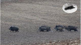 Video Wild Boar hunting best moments compilation. Polowanie zbiorowe na dziki - najlepsze momenty MP3, 3GP, MP4, WEBM, AVI, FLV Agustus 2017
