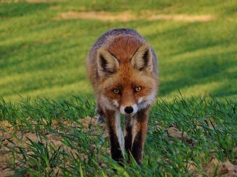 Wabienie lisa - fox call