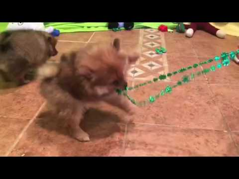 Bubbles pomeranian puppy