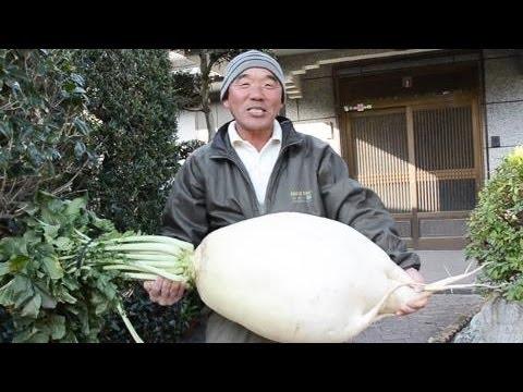 ギネス超え 35キロの桜島大根