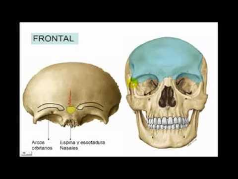 Osteología del Craneo (parte 2) hueso frontal