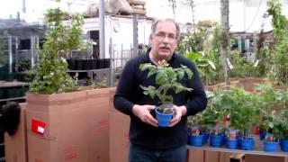 #350 Kompakte Tomatenpflanzen für Balkon und Terrasse