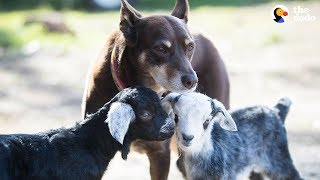 Dog Helps Her Mom Take Care Of All The Animals At Their Sanctuary - RUBY   The Dodo by The Dodo