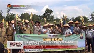 KAPOLDA PANEN JAGUNG PERDANA DI LAHAN EKS TAMBANG #TRIBRATA NEWS