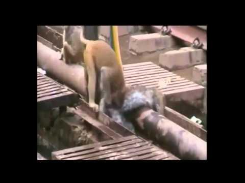 Khỉ cứu bạn bị điện giật
