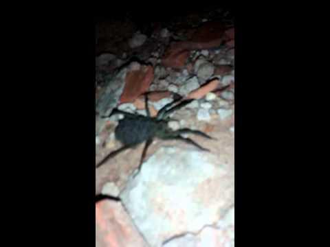 Aranha gigante com centenas de filhotes em amapora pr