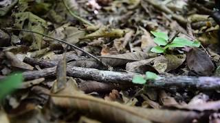 Leaf Cutter Ants - Belize