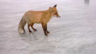 Fox comes up to Russian ice fisherman