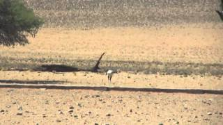 Secretarybird drinking water