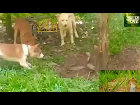Dog vs snake,cobra, wild, animal, attack, real fight, snakes, attacks,Dogs animals, royal cambo,