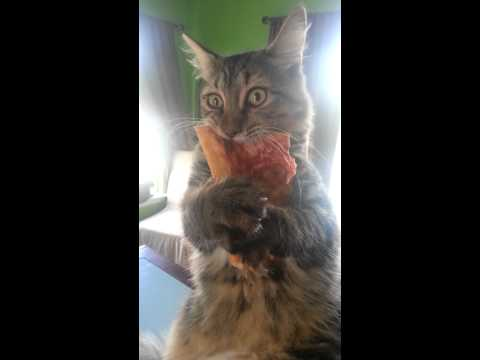 Crazy pizza stealing kitten