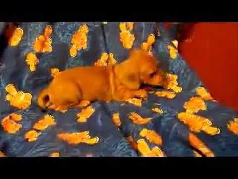Daphne is a female dachshund