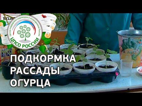 Подкормка рассады огурца. Выращивание рассады огурца.