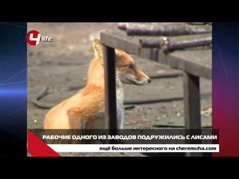 Рабочие одного из заводов приютили лис