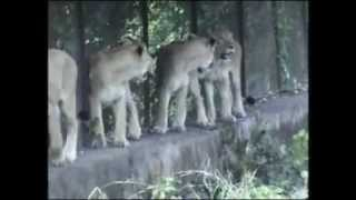 ASIATIC LIONS IN GIR FOREST OF  GUJARAT, INDIA- presentation from amarnath creations bangalore full download video download mp3 download music download