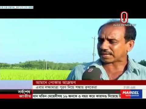 Pest attack on Aman fields (19-10-2016)