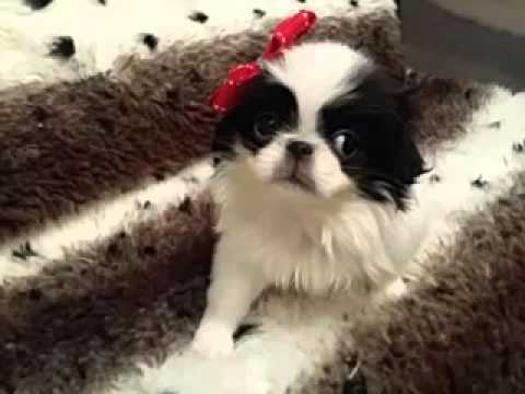 Sweet and Petite, Japanese Chin female