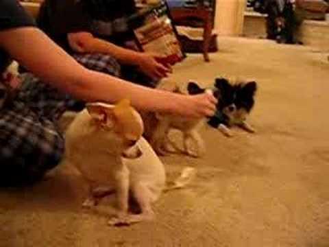 8 1/2 week old chihuahua puppies