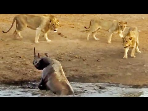 3 Lions Attack Black Rhino That's Stuck in Mud (видео)
