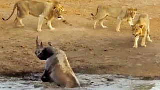 3 льва атаковали черного носорога, который застрял в грязи