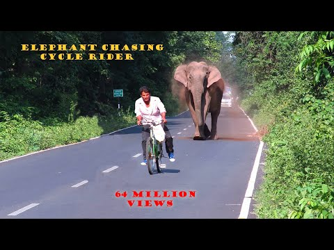 Elephant Chasing Cycle Rider.
