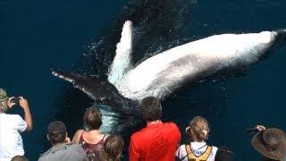 Hervey Bay Australia  city photos : Whale Watching Hervey Bay close encounters travel video guide Queensland Australia
