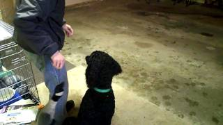 Standard Poodle Retrieving Canadian Goose Toy (after 3 Days Training)