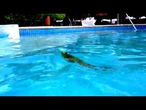 Iguana swimming in Gran Melia Puerto Rico pool