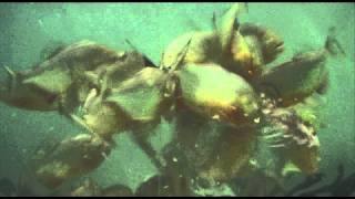 Piranha Feeding Frenzy - These Fish Are Real Monsters